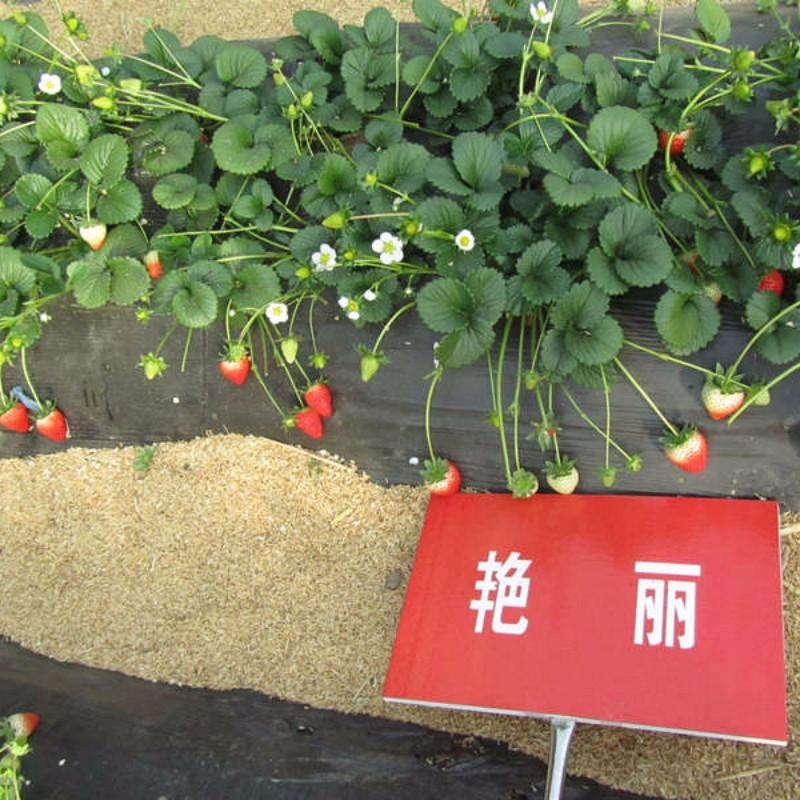 艳丽草莓 种苗