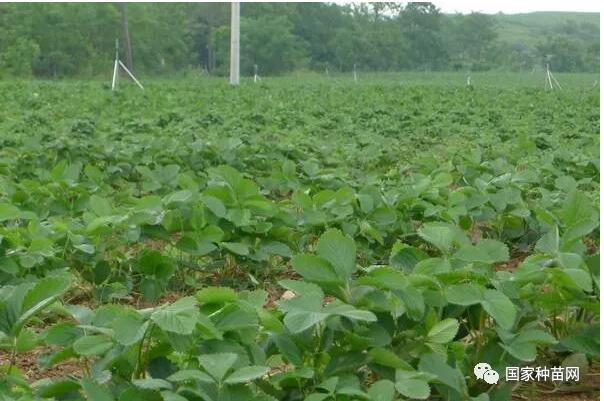 草莓种植知识及栽培技术
