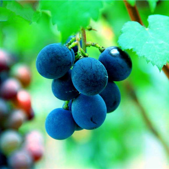 蓝莓葡萄 种苗