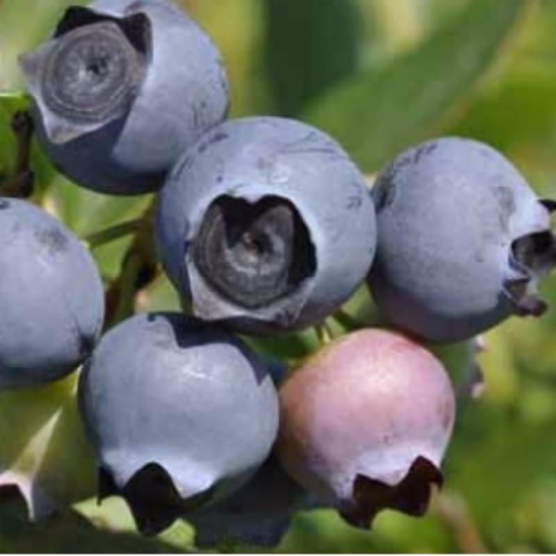 明星(star)蓝莓 种苗