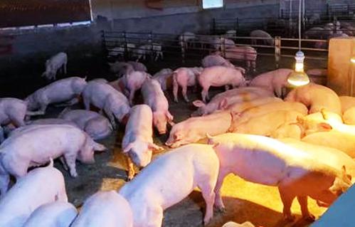 关于猪苗购销与生猪的出栏,有哪些需要注意的地方