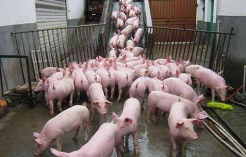 季节更替,怎样预防猪场呈现猪群腹泻不止的状况