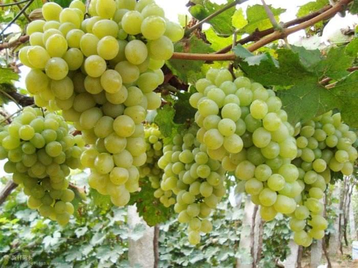 泽香葡萄 种苗