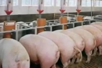 猪仔腹泻的解决办法