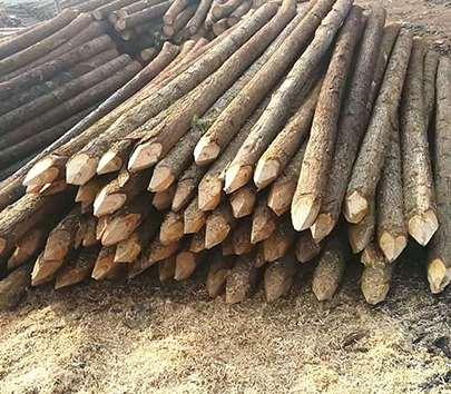 杉木桩价格高低不同的原因
