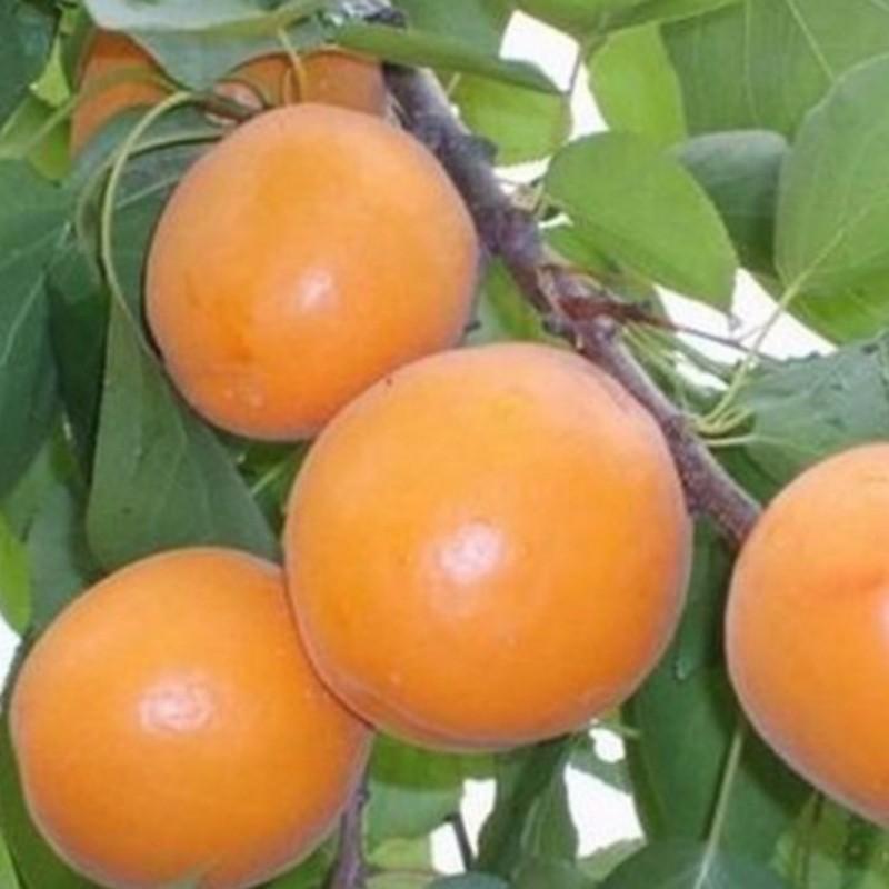 凯特杏 种苗