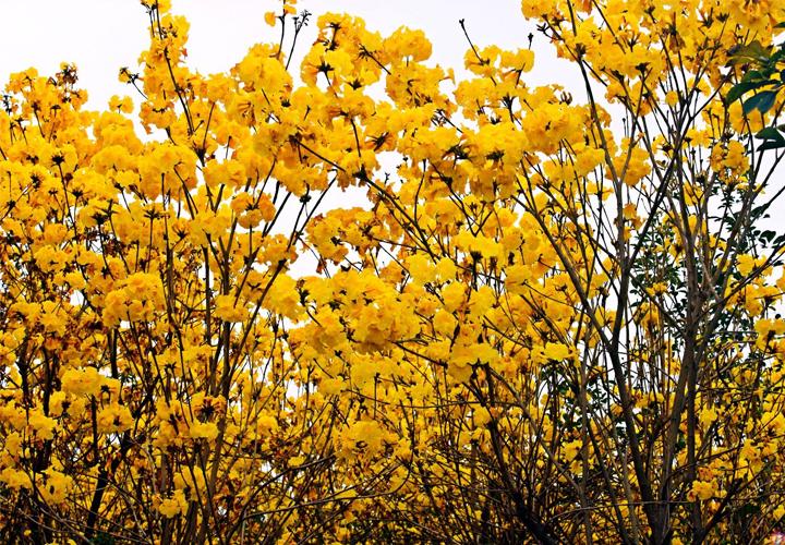 黄花风铃木出售