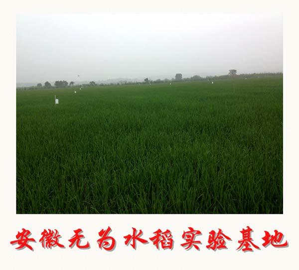 安徽无为水稻实验基地