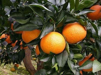 爱媛38柑橘苗