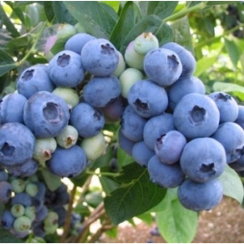 莱格西蓝莓 种苗