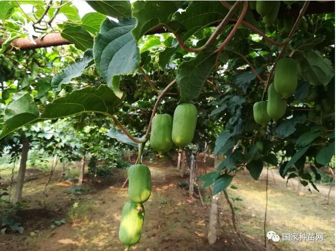软枣猕猴桃集约化种植可行性分析