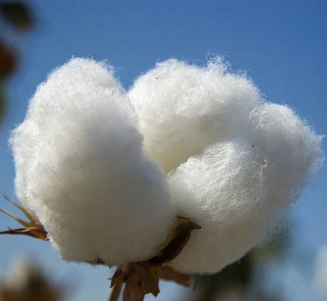 棉花生物学重点实验室研究团队揭示陆地棉地理分化和纤维品质改良的基因组学基础