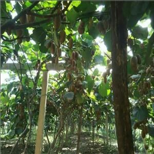 陕西翠香猕猴桃