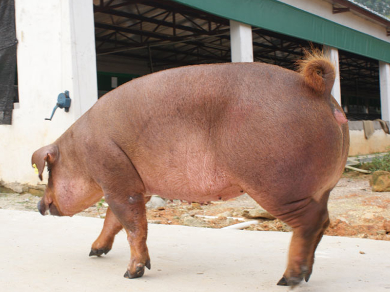 杜洛克母猪