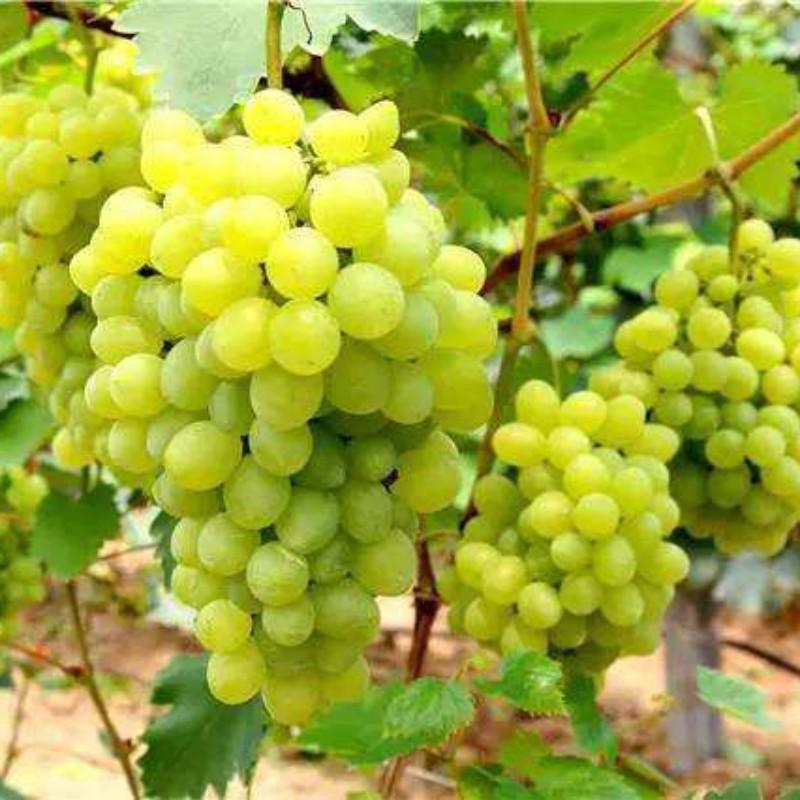 维多利亚葡萄 种苗
