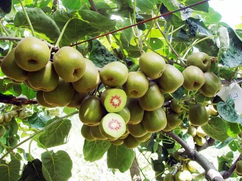 红阳猕猴桃 种苗