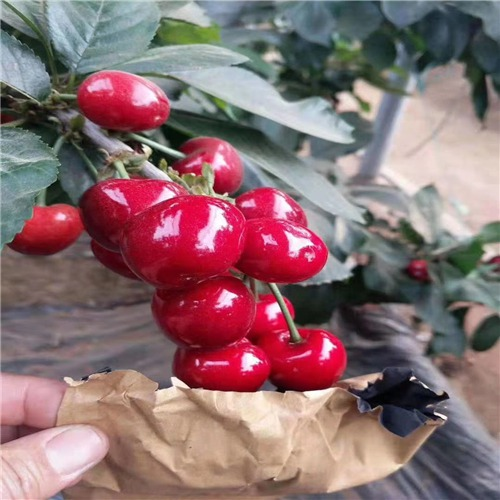 齐早樱桃 种苗