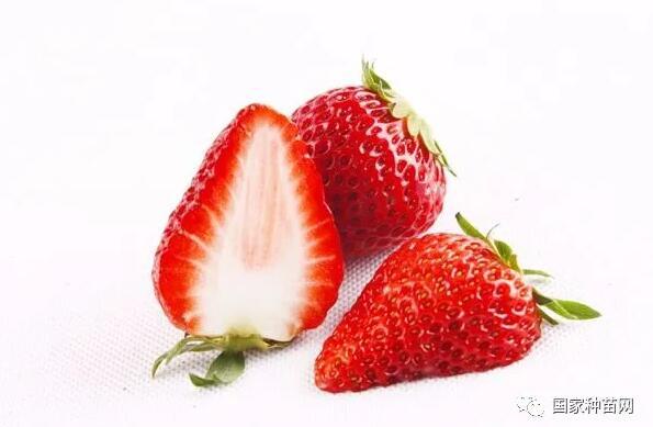 草莓育苗方法和育苗技术之三