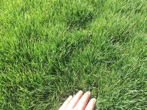 草籽種植須注意哪些護坡用狗牙根草種子好嗎