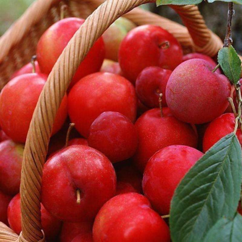 红宝石李 种苗