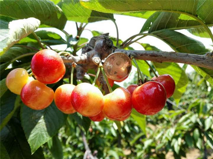 明珠樱桃 种苗