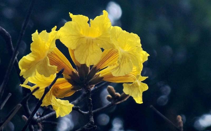 黄花风铃木的作用与功效