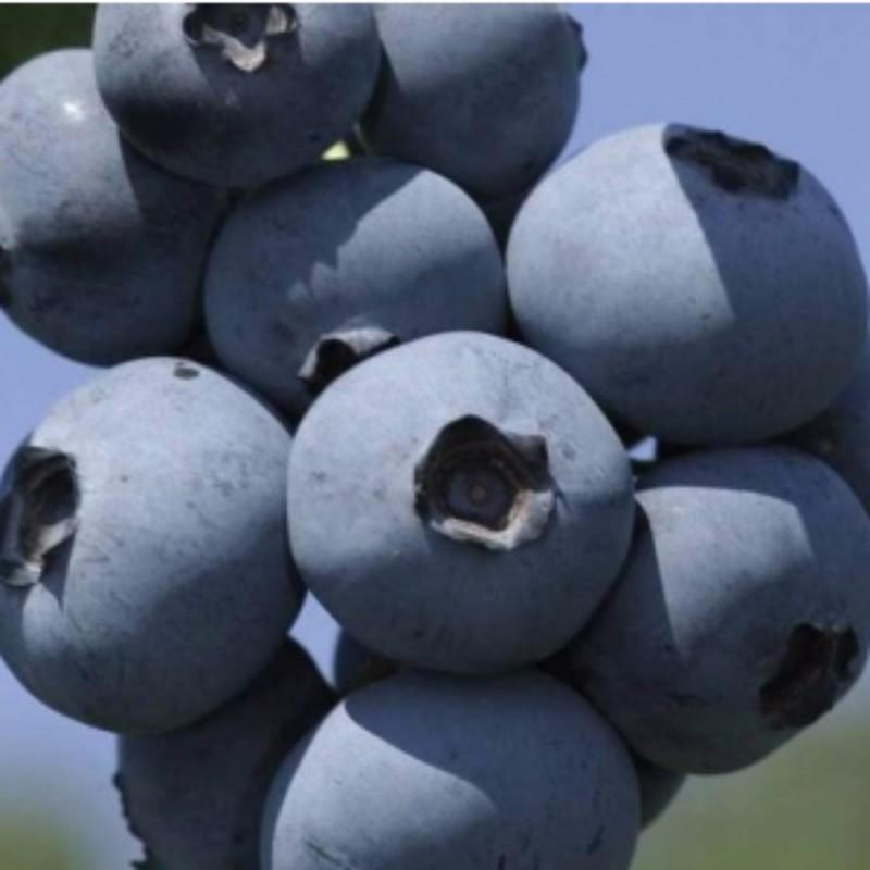 布里吉塔蓝莓 种苗