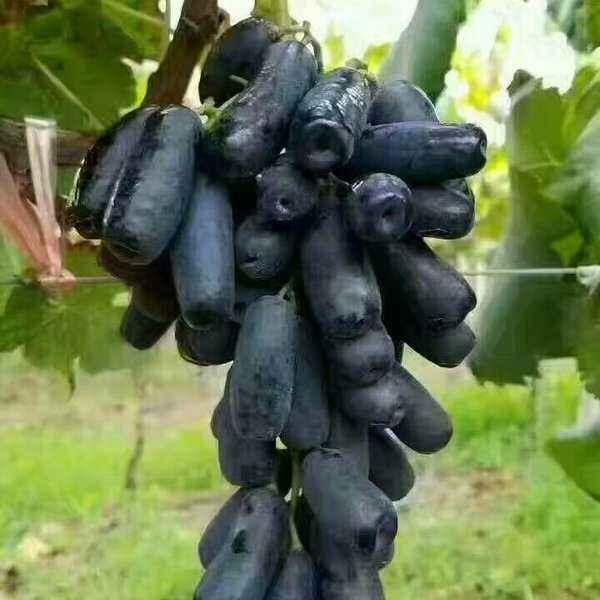 甜蜜蓝宝石葡萄种植管理技术