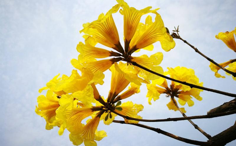 关于黄花风铃木的概括