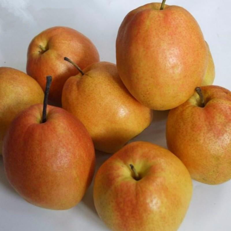 玉露梨 种苗