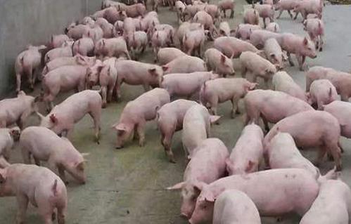 恢复生猪产能应防止一哄而上,尤其要防止散户盲目抢猪现象