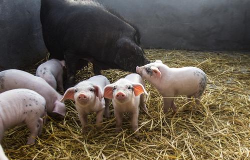简略介绍一下断奶仔猪拉稀的原因及怎么防备和?