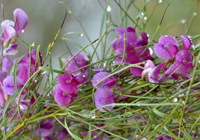花棒播种后多少发芽?