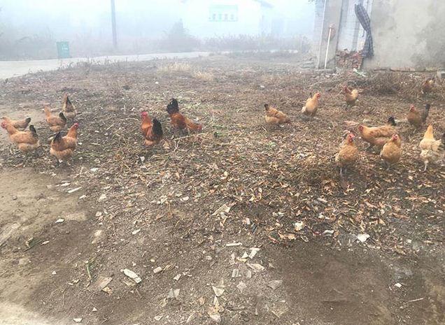 土鸡养殖种蛋选择