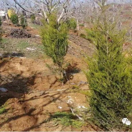 陕西商洛全力推动秦岭红豆杉高质量发展