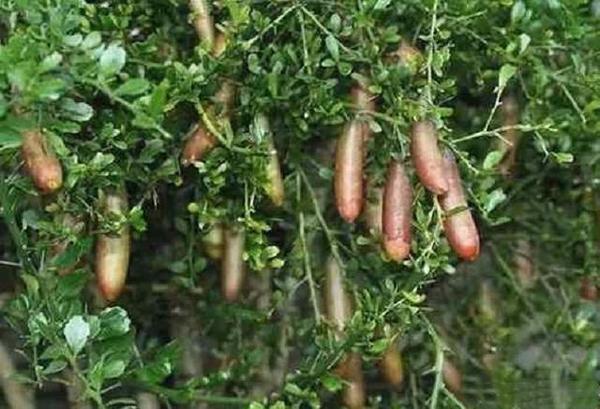 澳洲指橙 种苗