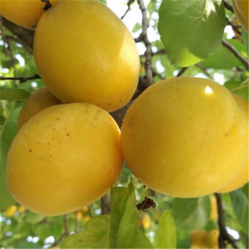 荷兰香蜜杏 种苗