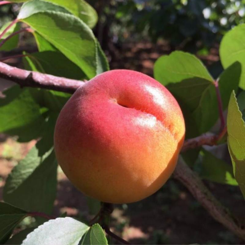 崂山蜜杏 种苗