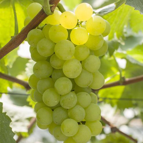 醉金香葡萄 种苗