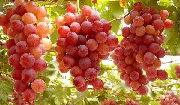 红地球葡萄 种苗