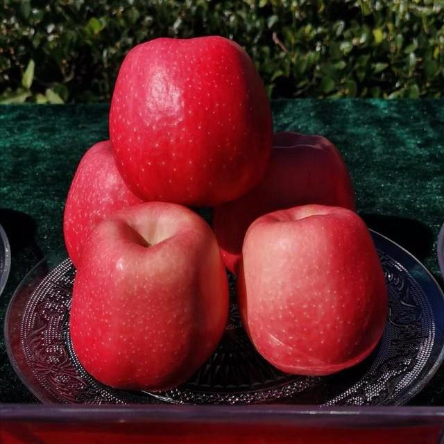 瑞香红苹果 种苗