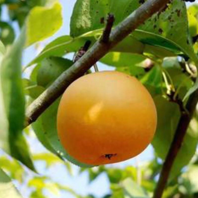 圆黄梨 种苗