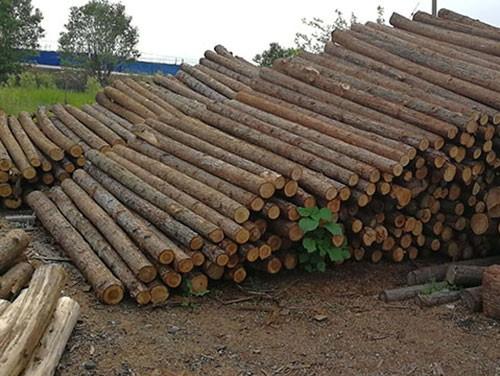 河道杉木桩的使用价值分析