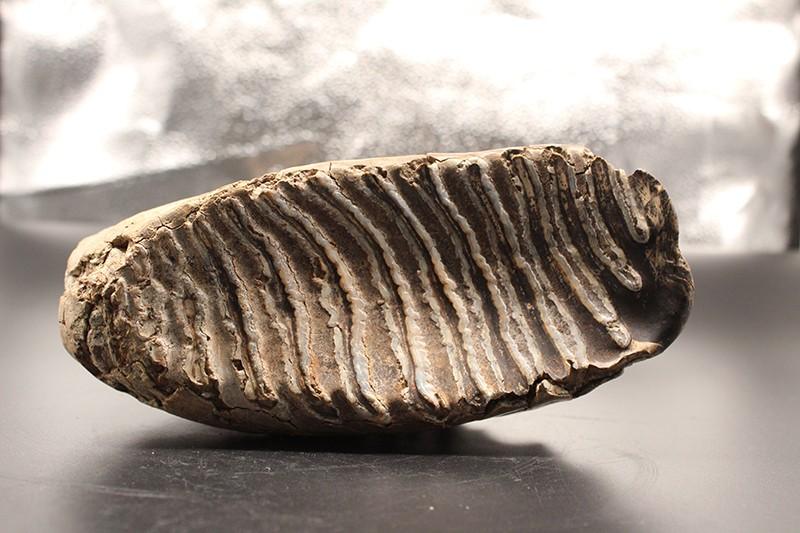 披毛犀化石