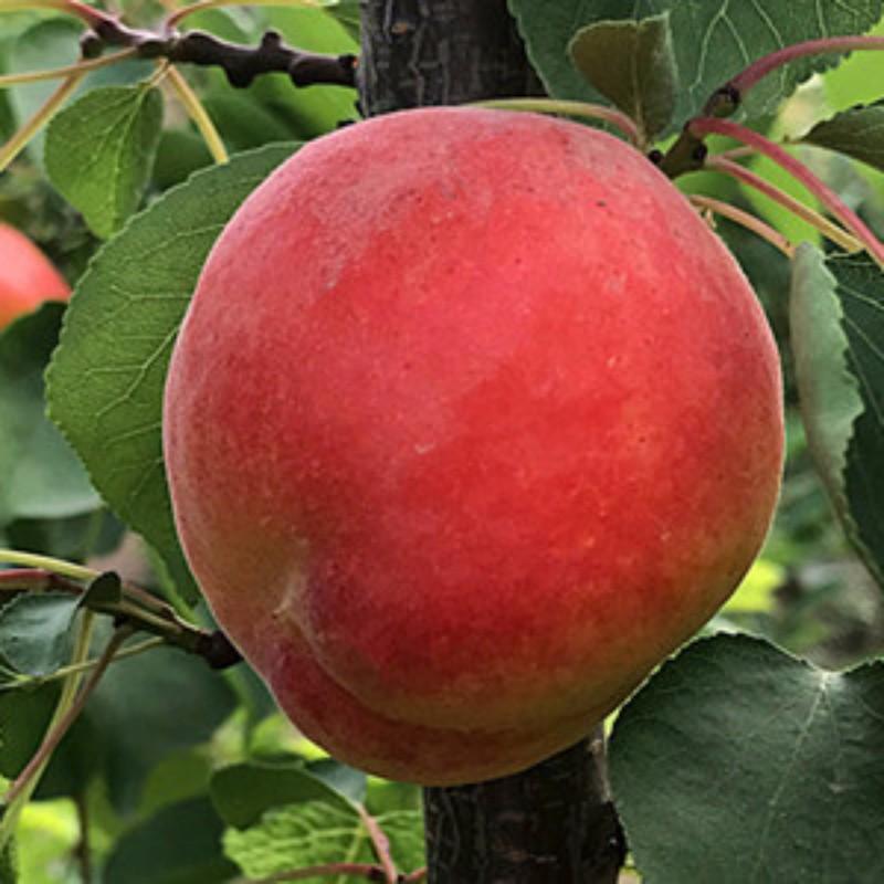 红寿星杏 种苗