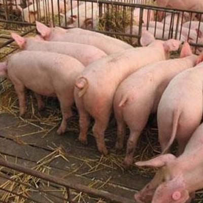 育肥猪价格