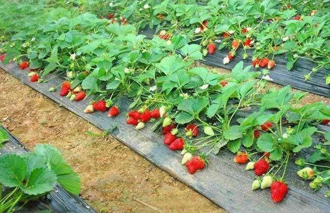 蒙特瑞草莓 种苗