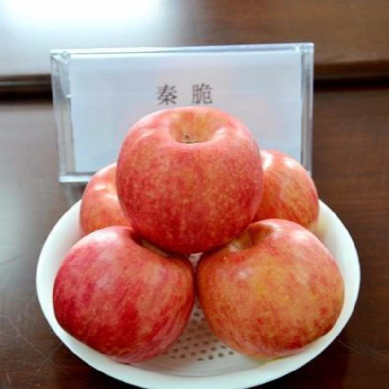 秦脆苹果 种苗