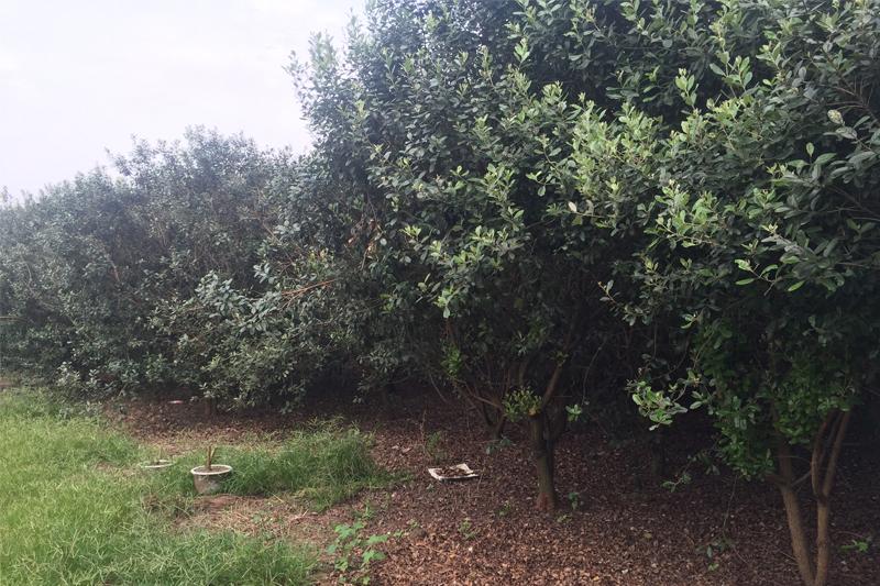 各类苗木的五种防虫方法
