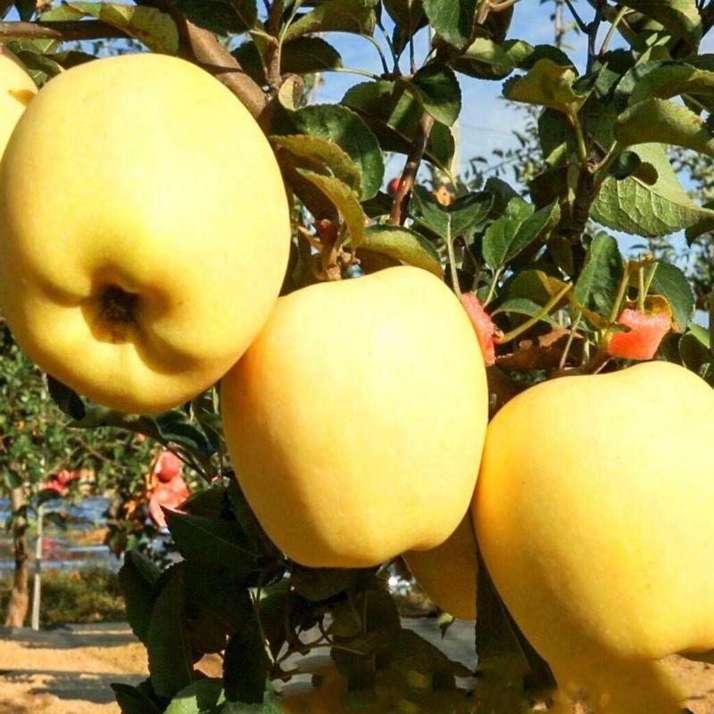 维纳斯黄金苹果 种苗